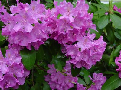 Rhotodentron. Longwood Gardens.