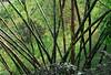Giant bamboo, Tansen, Nepal