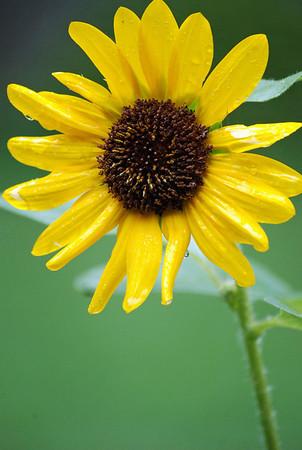Best of sunflowers