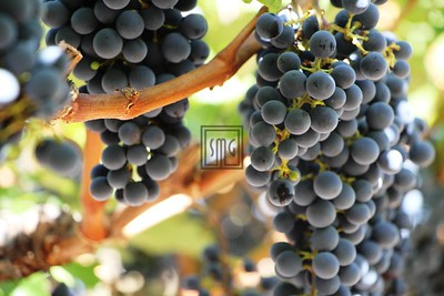 Grapes - Napa, California