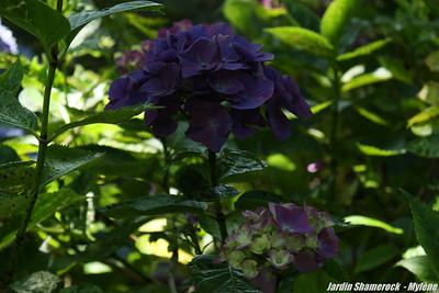 Jardin Shamerock