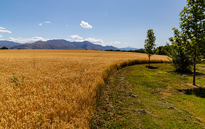 Flowers from Wanaka, Otago, South Island, New Zealand, Barley field, mountain range,  southern alps, Ka tiritiri o te Moana,