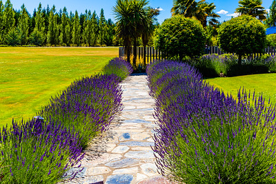 Flowers from Wanaka, Otago, New Zealand, Lavender hedge,  in a compound in Wanaka, purple flower,