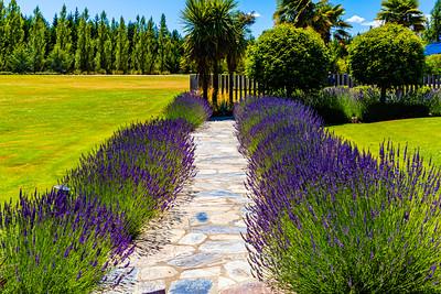 Flowers from Wanaka, Otago, New Zealand, Lavender hedge,  in a compound in Wanaka, purple flower,