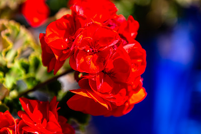 Flowers from Wanaka New Zealand, Red flower, red roses