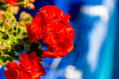 Flowers from Wanaka, Otago, New Zealand, Red flower, red roses