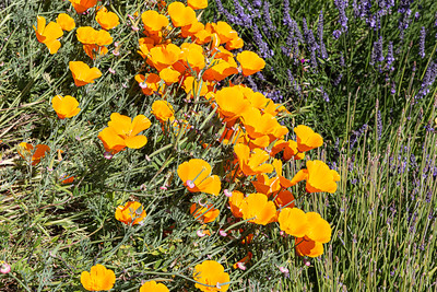 Flowers from Wanaka, Otago, New Zealand, Yellow flower, California golden poppy,