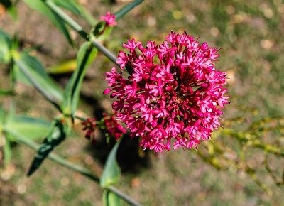 Flowers from Wanaka, Otago, South Island, New Zealand, Red flower, perhaps, Centranthus ruber, Red Valerian,