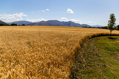 Flowers from Wanaka, Otago, New Zealand, Barley field, mountain range,  southern alps, Ka tiritiri o te Moana,