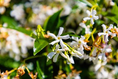 Flowers from Wanaka, Otago, South Island, New Zealand, White flower, star jasmine, evergreen white climbing plant, Trachelospermum Jasminoides,