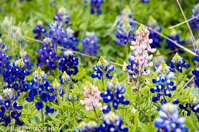 Pink Bluebonnet among a sea of blue