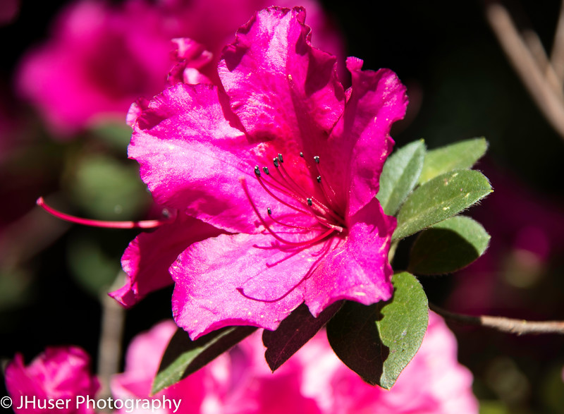 Dark pink azalea blossom closeup