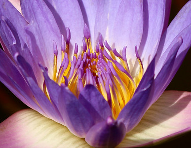 Purple waterlily macro