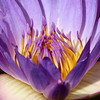 Purple waterlily macro