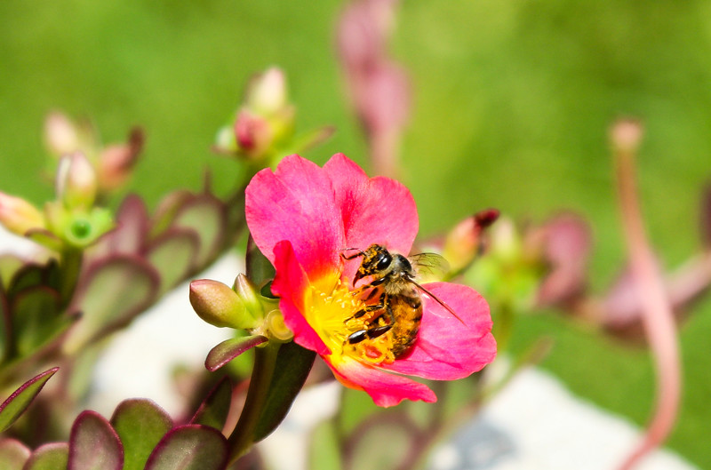 Closeup of Bee on red and yellow flower