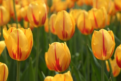Closeup of yellow and red Tulips