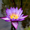 Purple and yellow waterlily