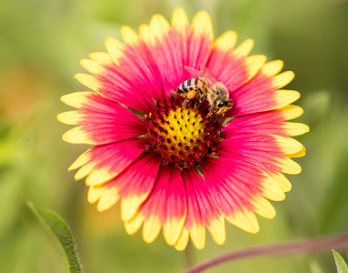 Looking down on red and yellow flower with honeybee with pollen on it's face in the center