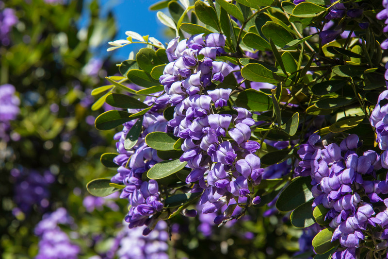 Purple Mountain laurel flowers