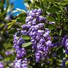 Purple Mountain laurel flowers