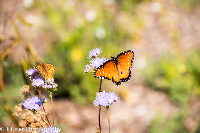 Orange and black Soldier Monarch butterfly and Variegated Fritillary butterfly on purple flowers