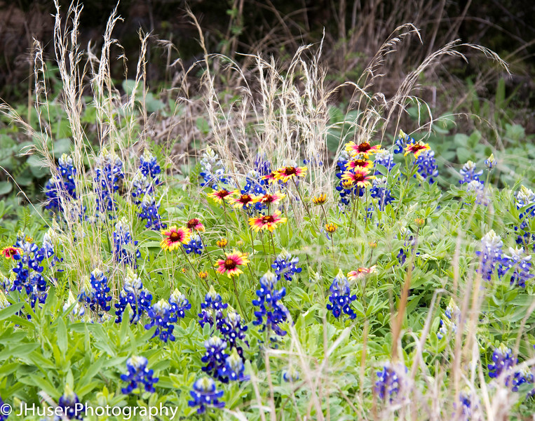 Bluebonnet and Indian Blanket wildflowers