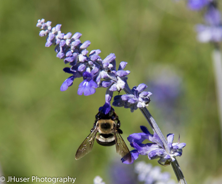 Closeup of bee hanging on blue flower