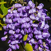 Closeup of purple Mountin laurel flowers