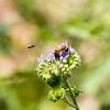 A Honeybee on a purple Giant Spiderwort flower with a black Wasp flying toward it