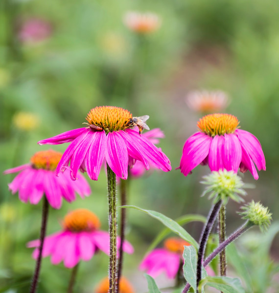 A Honeybee and a red bug on a purple Coneflower