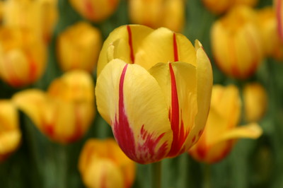 Yellow and red Tulip single Tulip