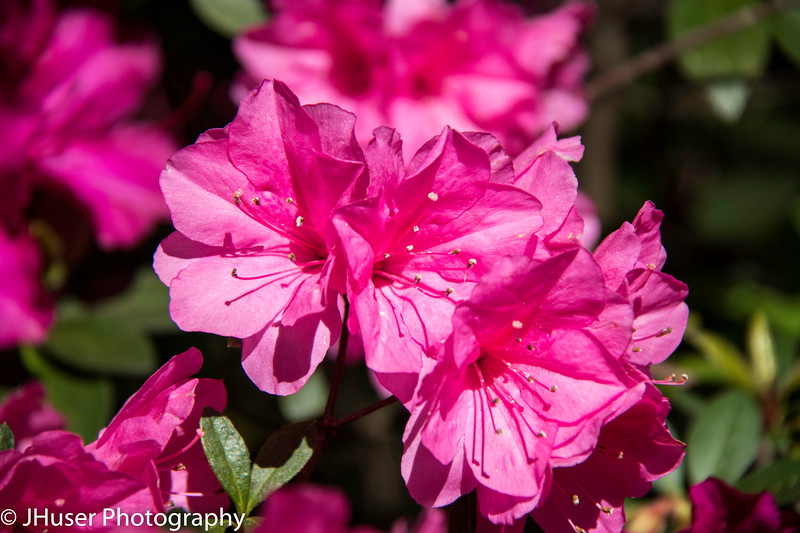 Closeup of pink azalea flowers