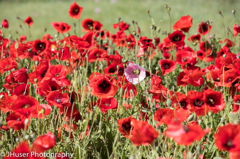 A single pink Poppy wildflower in a sea of red Poppies