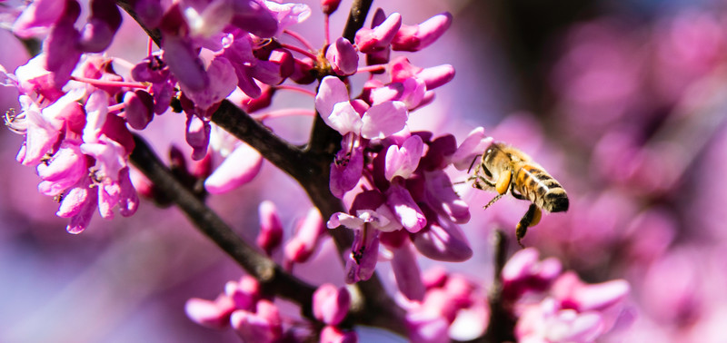 Closeup of bee on pink flower