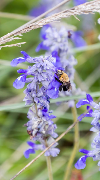A black and golden  BumbleBee sitting on a blue flower