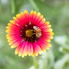 A Honeybee covered in pollen on a red and yellow Indian Blanket wildflower