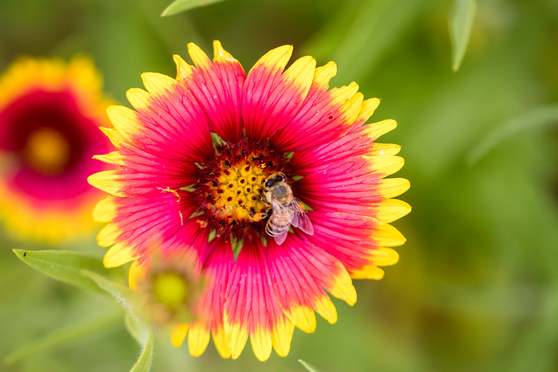 Looking down on red and yellow flower with honeybee in the center