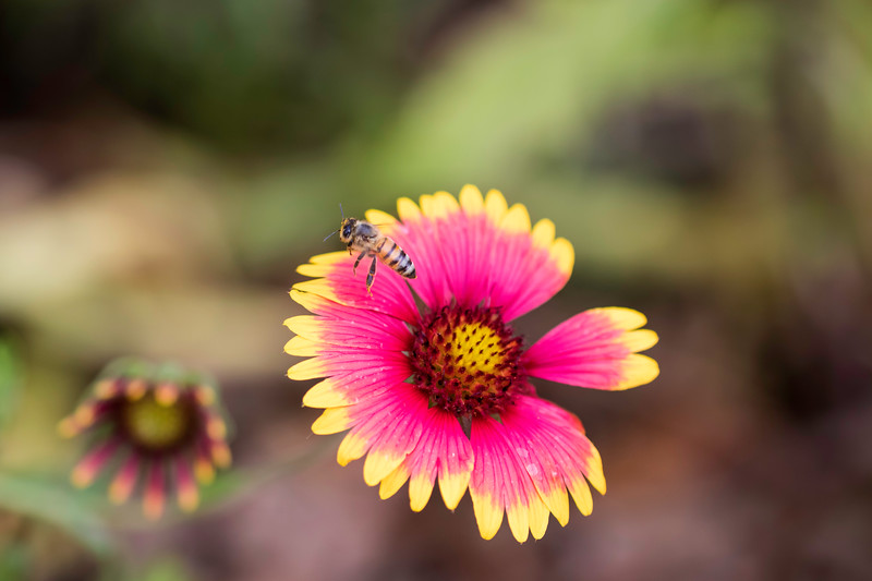 Closeup of bee flying above Red and yellow flower