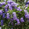 Mountain laurel with purple flowers