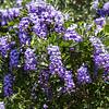 Mountain laurel with purple flowers