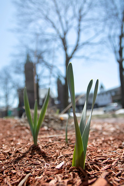 People may be slowing down and taking their time and staying home  but Mother Nature is still trucking right along. The flowers next to the gazebo are starring to bloom on the upper common in Fitchburg Thursday, March 26, 2020. SENTINEL & ENTERPRISE/JOHN LOVE