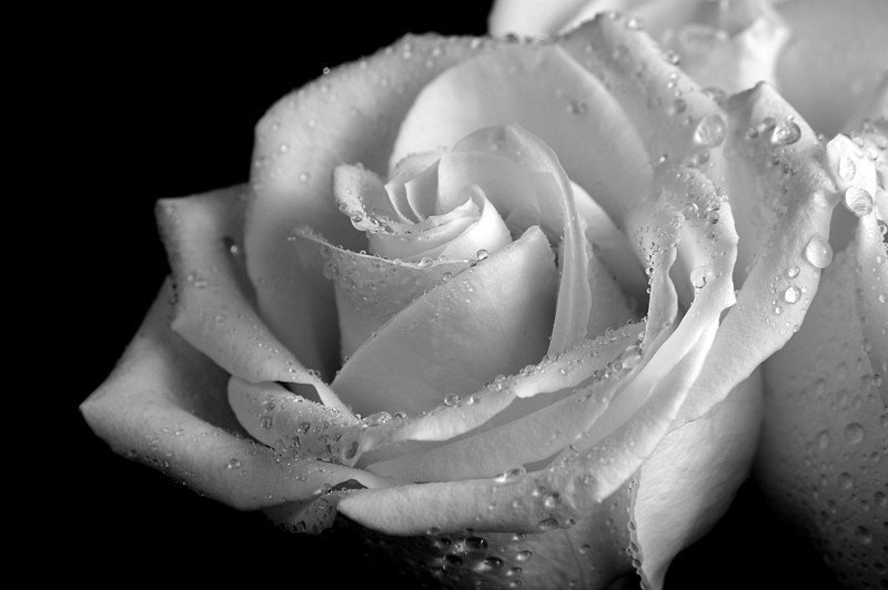 White Rose Love by Beata Obrzut
