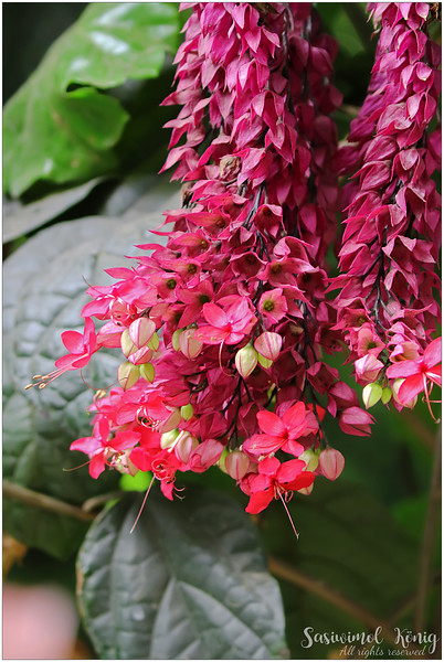 Bleeding-heart vine, Clerodendrum thomsoniae