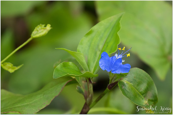 Tropical spiderwort (Commelina benghalensis)
