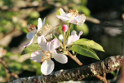 Apple blossom in the morning
