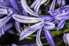 """Lily of the Nile (Agapanthus)"""