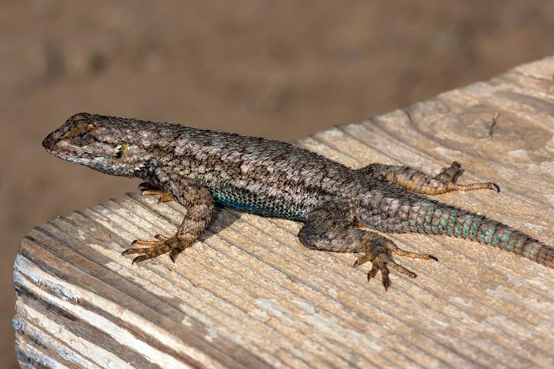 """""""Western Fence Lizard"""""""