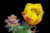 """Prickly Pear Cactus Blossom"""