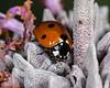 """""""Ladybug on Purple Sage Blossom"""""""