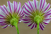 """""""Cliff Aster Blossoms Rear View"""""""